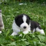 Chiot noir et blanc samoyède - Shetland