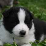 Chiot noir et blanc à 1 mois