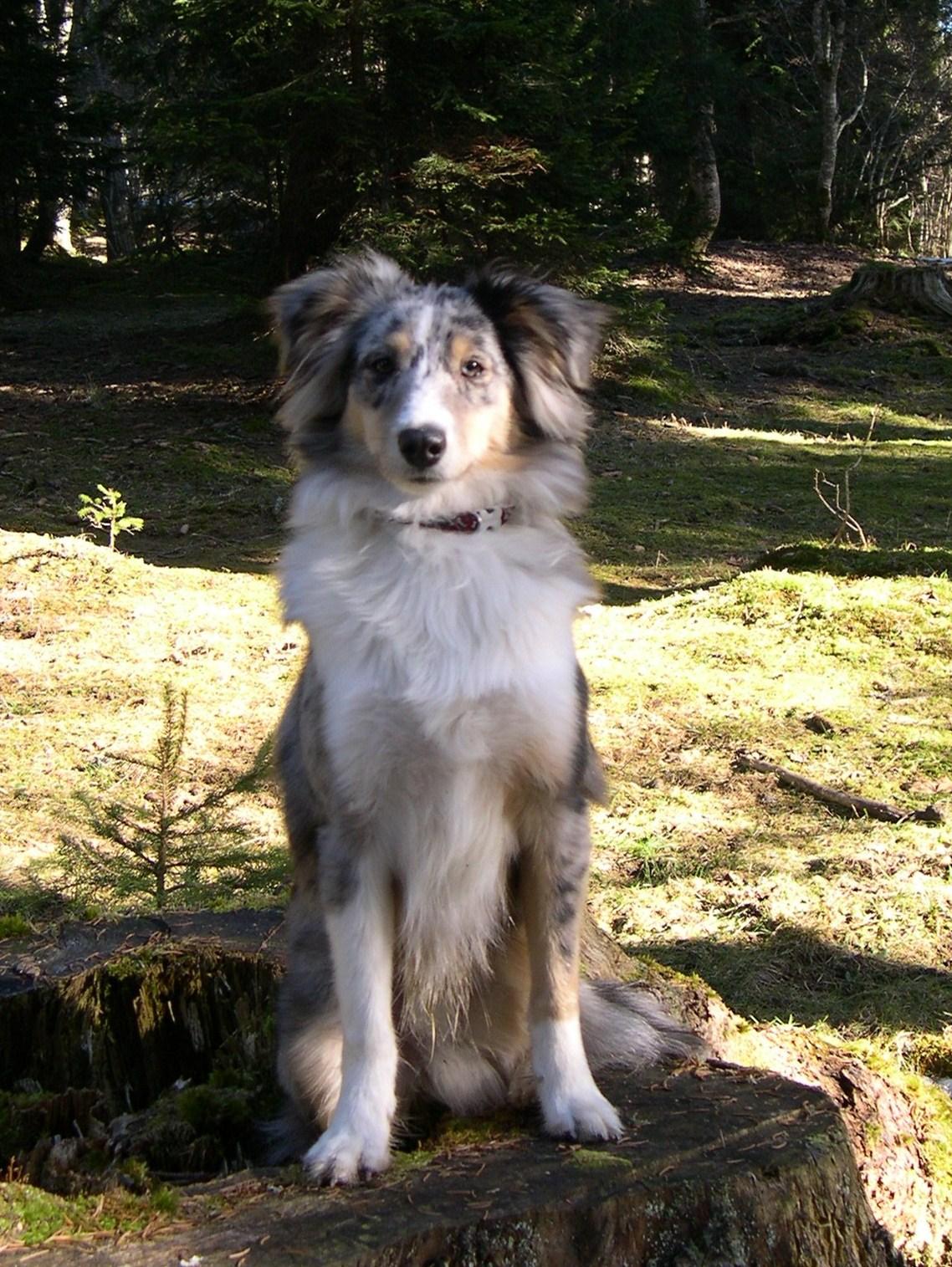 Blog Du Canton De Neuchatel Petits Chiots A Adopter Samoyede Shetland Berger Australien